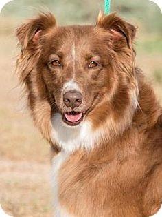 Albuquerque, NM - Australian Shepherd. Meet Amber, a dog for adoption. http://www.adoptapet.com/pet/14698653-albuquerque-new-mexico-australian-shepherd