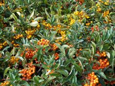 Pyracantha Soleil d'Or - dense thorny evergreen growth ideal for intruder-proof hedging or for training on walls to display their profuse and brightly coloured berries! Climbers, Evergreen, Shrubs, Berries, Walls, Training, Gardening, Display, Plants