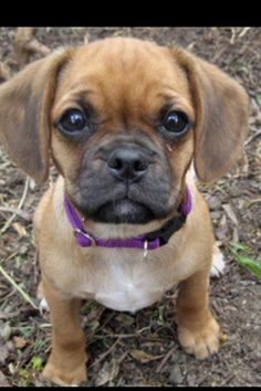 A pug cross with cavalier... OK now this is a cute mutt..oh I'm sorry designer breed