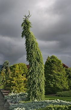 Picea omorika 'Pendula Bruns'  - it's no wonder why this magnificent tree is so popular among gardeners and non-gardeners alike!