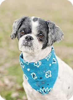 Portsmouth, RI - Shih Tzu Mix. Meet Nathan a Dog for Adoption.