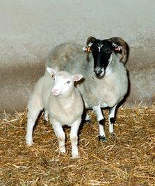 Dolly con su madre de alquiler  #Edinburgh #Edimburgo #Escocia #Scotland #animales #animals Más información / More info: http://edinatours.com/edinablog/la-oveja-dolly-el-primer-animal-clonado-de-la-historia/