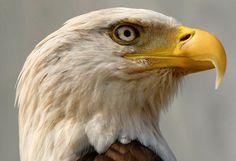 Bald Eagle Cam, Bald Eagles, Foto One, Eagle Nest, Apex Predator, Interesting Animals, Reality Tv Stars, Close Up Photos, Flocking