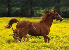 Yegua con cría corriendo en pradera de flores amarillas
