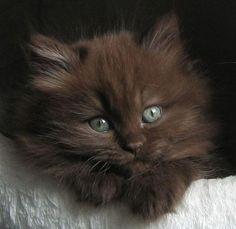 British longhair kitten #feline