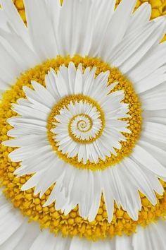 A miracle daisy