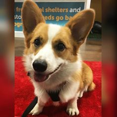 I made my first red carpet appearance today! The local pet store was holding a pre-oscars cocktail party and yappy hour. We got a little goodie bag and THEN won the raffle with a $250 prize! I'm such a good luck charm. This was our first event going solo without meeting up with any corgi folk but mom worked it and we made a ton of new non-corgi buddies to play with in the future!  Thank you @adoptnshop for hosting the event! #torothecorgi