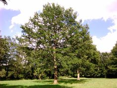 Molise - Cerro - Quercus cerris L.-  San Pietro Avellana (Isernia) - Contrada La Civita -26-8-15- Conci Di Cianno (58)