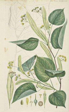 110895 Tilia europaea L. [as Tilia vulgaris Hill]  / Flora Danica [G.C. Oeder et…