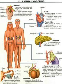Les glàndules del sistema endocrí i les seves funcions.