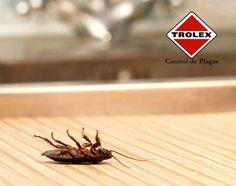 ¿Por qué las cucarachas mueren en sus espaldas?  Ya habrá observado que cuando mueren estos insectos se voltean. A continuación le explicamos a qué se debe:  Las cucarachas, al parecer, tienen cuerpos voluminosos, segmentados en tres partes, mientras que sus patas son largas y delgadas, así que cuando mueren....