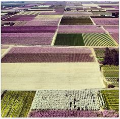 Aerial shot of Fresno County's fruit orchards in bloom.  Spring in the Valley is fabulous, if all too short!  (From the Fresnobeehive.com)