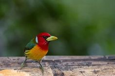 A red-headed barbet (Eubucco bourcierii) in a rural area of Cali, Colombia. Colombia is the country with the greatest diversity of birds in the world.  Photograph: Luis Robayo/AFP/Getty Images