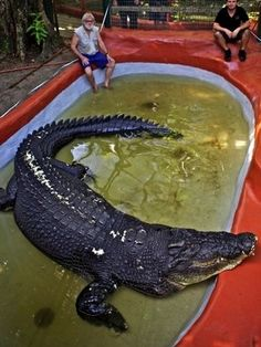 Crocodilo australiano é considerado maior do mundo - Meio Ambiente - iG
