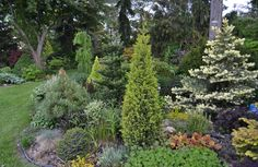 An amazing collection of evergreens (conifers) showing the very different colors, shapes, textures, and contrasts. Includes Picea pungens 'Spring Ghost'