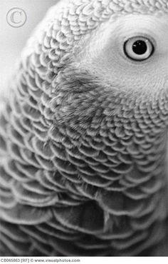 Eye of an African Grey Parrot