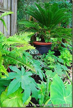 The buzz at the nursery in 2013 seemed to emanate from this, our 'Jurassic Garden' which is home to some of the most unique tropicals imaginable, considering we're in Zone 5! We truly are the 'Kings and Queen of Zonal Denial!'