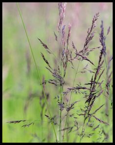 #grass #bokeh #photography #valokuvaus #nature #luonto #suomi #Finland #Nordic #beautiful colors #green and purple #painting #poster
