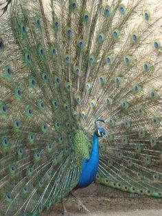 Pecock in full plumage