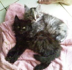 Maine Coon Cats - pictures of kittens http://www.mainecoonguide.com/maine-coon-personality-traits/