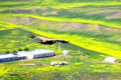 By Gia Kharatiani Georgian, Bald Eagle, Bird, Mountains, Animals, Animales, Georgian Language, Animaux, Birds