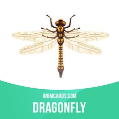 Dragonflies can move straight up or down, fly backwards, stop and hover, and make hairpin turns, at full speed or in slow motion. A dragonfly can fly forward at a speed of 100 body lengths per second, or up to 30 miles per hour.  #english #englishlanguage #learnenglish #studyenglish #language #vocabulary #dictionary #englishlearning #vocab #animals #dragonfly #dragonflies