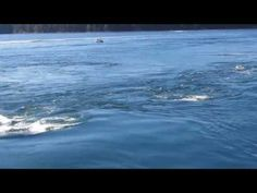 ▶ Orcas in Active Pass, Galiano Island BC - Canada - Super Pod of 30 to 60 Orcas. Dolphin Family, What Dogs, Marine Biology, Gif Of The Day, Killer Whales, Sea World, Ocean Life, Happy Dogs, Animales