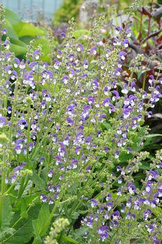 Perennial Sage, Salvia 'Madeline'