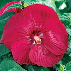 Gardeners just love Hardy Hibiscus with their dinnerplate-sized flowers. They create so much excitement in the summer garden. This Patio Hibiscus Series produces the same Chinese American, Plant Lighting, Zone 5, Summer Garden, Season Colors, Hibiscus, Perennials, Vibrant Colors, Gardening