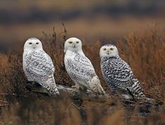SNOWY OWL-1C by Evergreen Photography