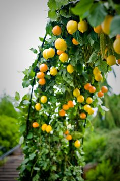 lemon and mandarin archway -- maybe something like this for ceremony, but less fruit (a little overwhelming here)...