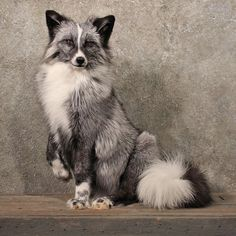 Marble Fox. LOVE this coat color. It's gorgeous.