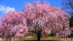 京都 上賀茂神社 斎王桜 Japan,Kyoto,Kamigamo shrine,cherry blossoms,Saio-zakura