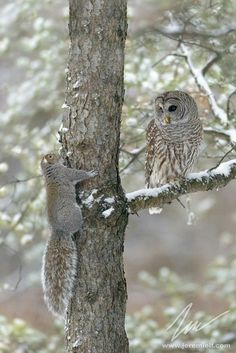 The meeting (Barred Owl and Squirrel) by Jérémie LeBlond-Fontaine