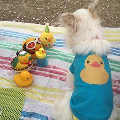 みんなでお花見 #狭山池 #チワワ #chihuahuastagram #chihuahua  #犬 #dogstagram  #dog #ラバーダック #rubberduck #あひるちゃん by ohagiyamonaka
