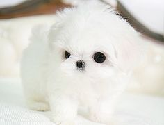 micro teacup Maltese - my wife's favorite