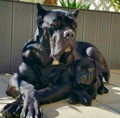 From Cane Corso Europe Huge Dogs, Giant Dogs, I Love Dogs, Chien Cane Corso, Cane Corso Dog, Beautiful Dogs, Animals Beautiful, Animals And Pets, Cute Animals