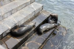 Sea lions in the Galapagos Islands lazing around on the sea wall! #sea lion