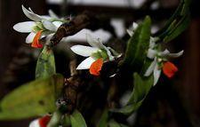 Planta Orquídea Dendrobium scabrilingue