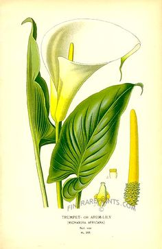 Antique print: picture of Trumpet or Arum Lily (Richardia africana) - South Africa Illustration Botanique, Plant Illustration, Botanical Illustration, Lilies Drawing, Floral Drawing, Botanical Flowers, Botanical Prints, Zantedeschia Aethiopica, Hawaiian Art