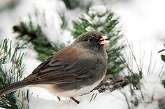Winter Junco by Christina Rollo