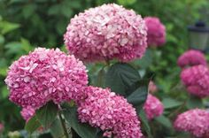 """First discovered in Japan, the name hydrangea  comes from the Greek """" hydor ,"""" meaning water , and """" angos ,"""" meaning jar or vessel . Common..."""