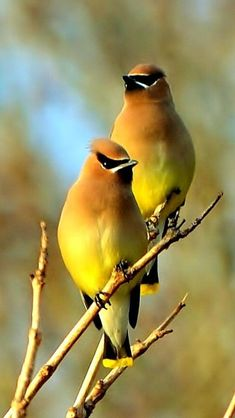 Breathtaking 23 Beautiful Yellow Cardinal Birds https://meowlogy.com/2018/03/01/23-beautiful-yellow-cardinal-birds/ Insecticide use is just one of the biggest threats to our woodpecker populations since they eliminate their normal food sources.