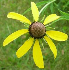 Yellow Prarie Coneflower at the Cottage Gift Shop - Elmira, New York
