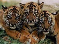 Big Cat Pictures Wild - Bing Images.  Tiger Cubs.