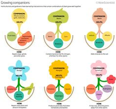 GROWING COMPANIONS Info Graphic via NewScientist & American Community Gardening Assoc.