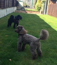 #poodles #middy #lucas