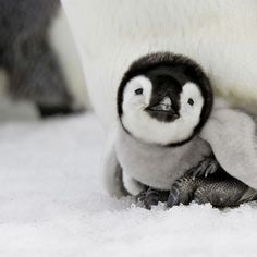 Baby Penguin you can never know how special this little fellow is,,until you see how and what courage and determination it took to get him here, will make you cry....
