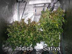 A demonstration of the different growth pattern is Indica vs Sativa cannabis plants.