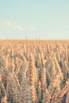 Pure Nature Wheat Plant Field iPhone 4s Wallpapers